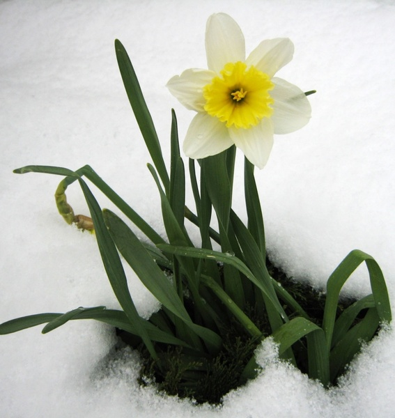 daffodil in the snow