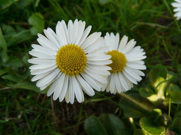 daisy plant garden