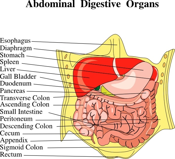 Digestive Organs Medical Diagram clip art