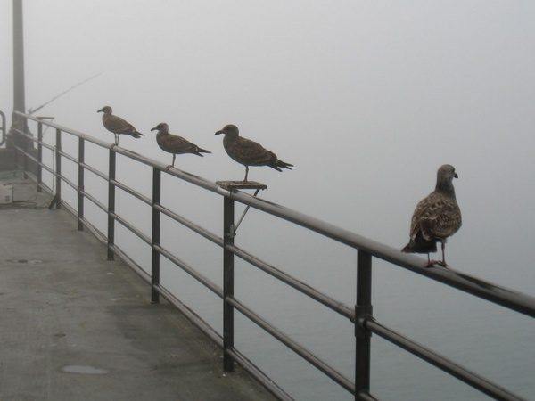 seagulls waiting for fog to lift