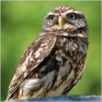 owl bird animal