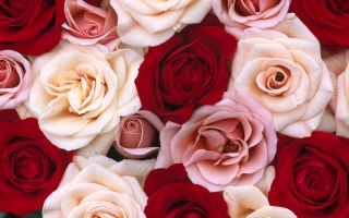 Wallpaper Rose Flowers Wallpapers For Free Download About