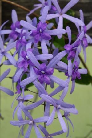 Queen S Wreath Sandpaper Vine Blue Petrea Purple Wreath