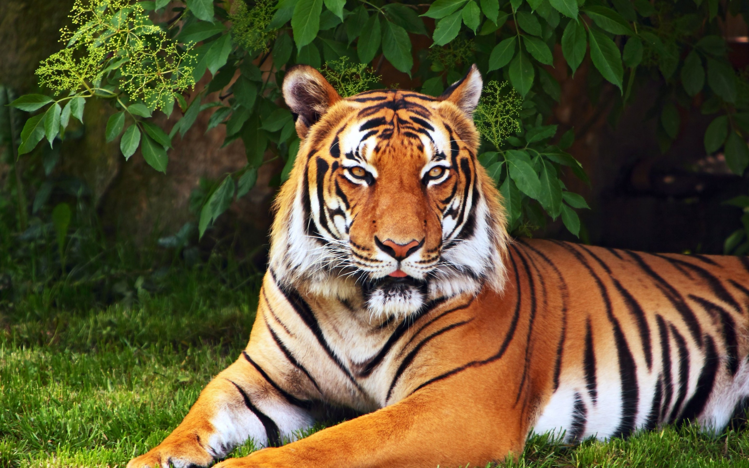 tiger full hd wallpaper and background | 2880x1800 | id:436232