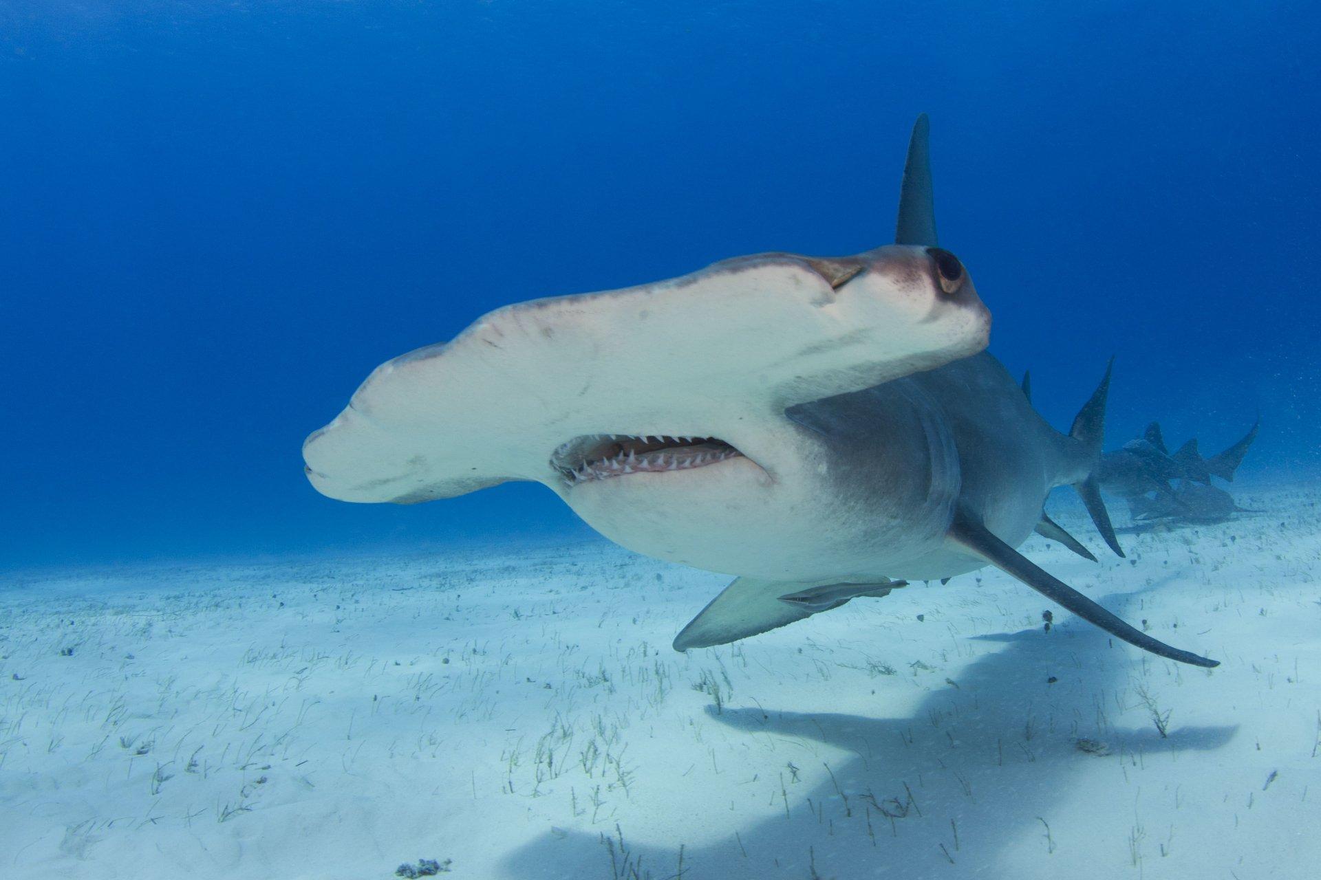 Hammerhead Shark 4k Ultra Hd Wallpaper And Background