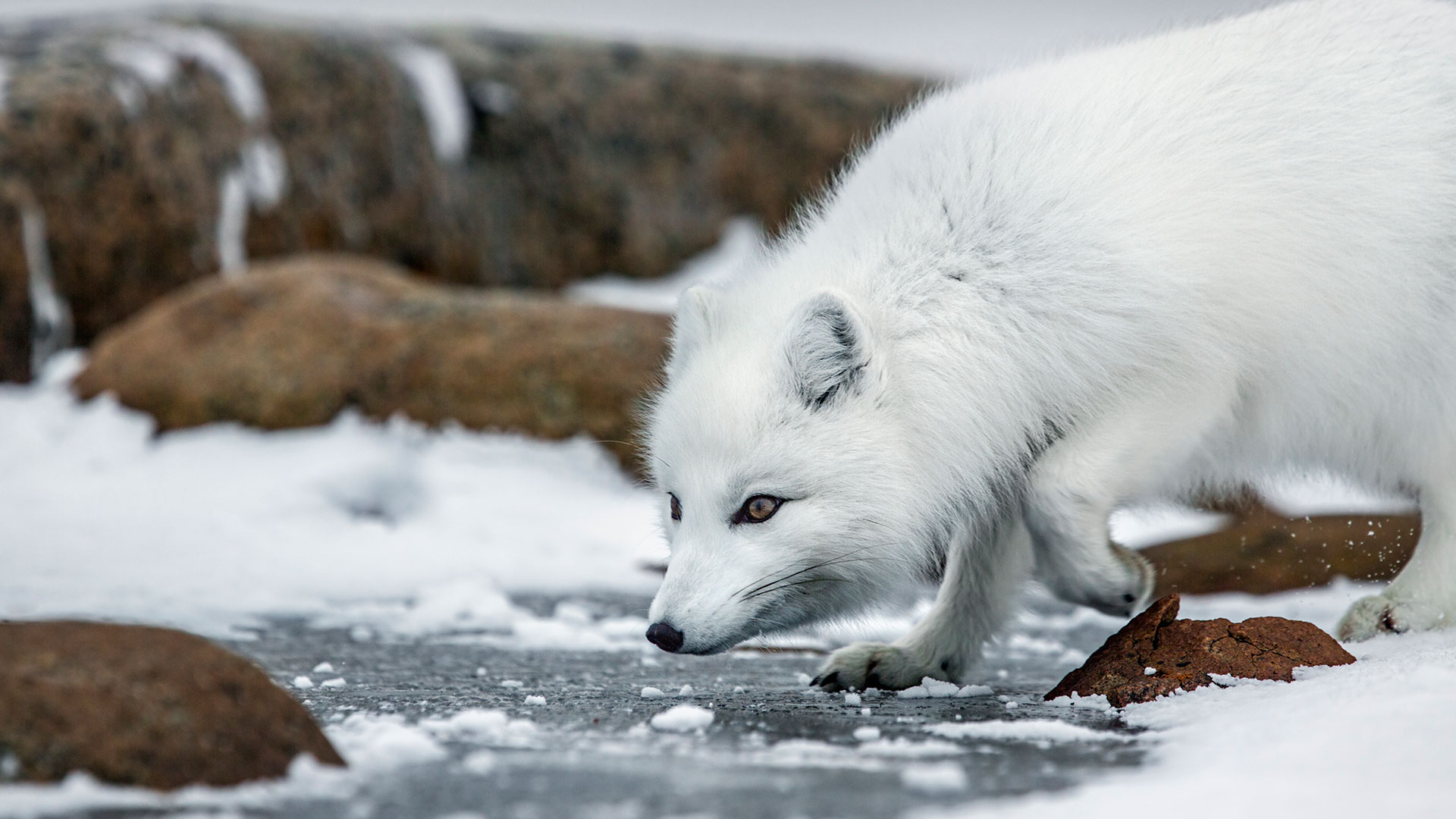 Arctic Animals Quiz