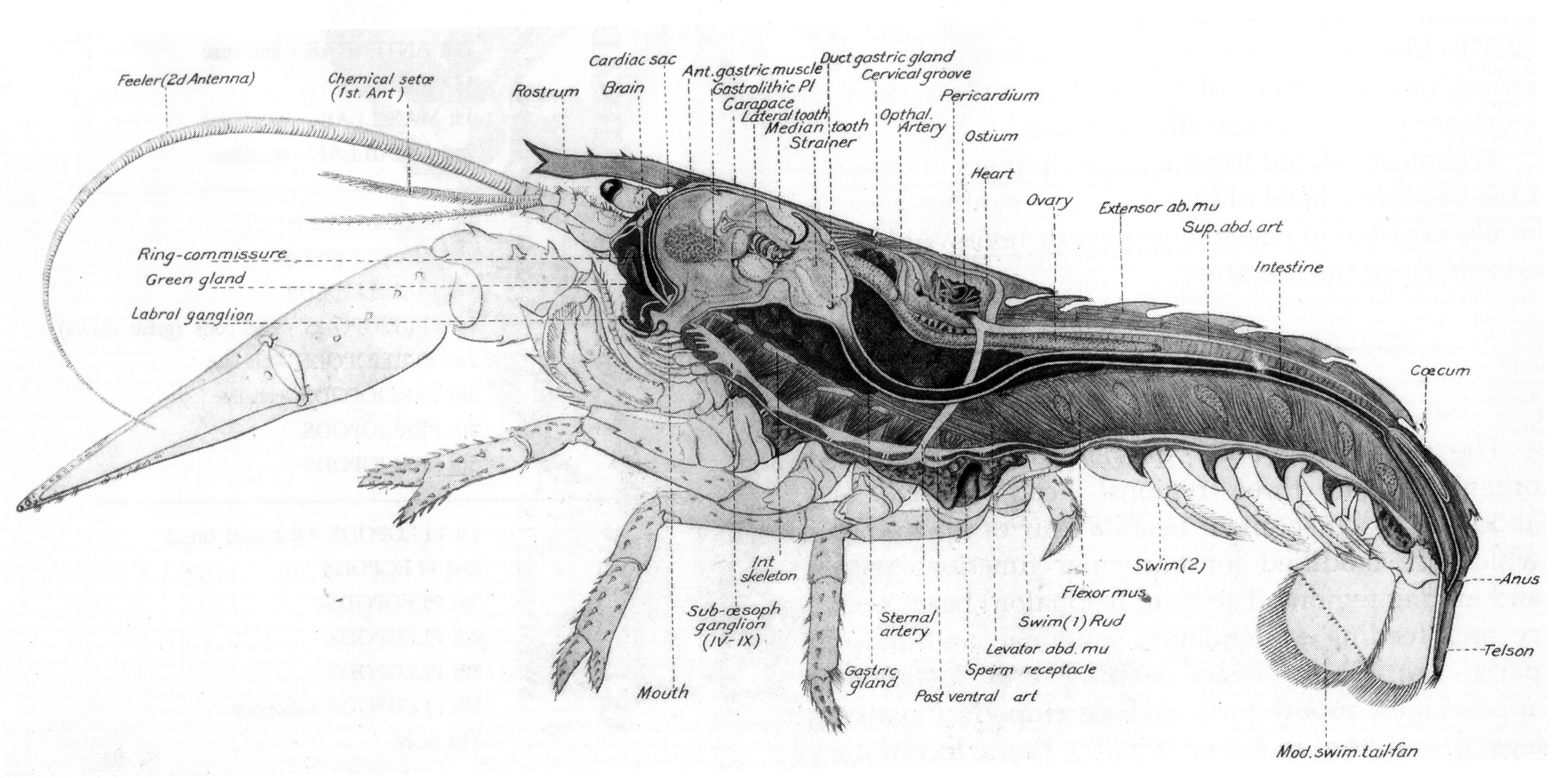 Lobster Diagram Pictures On Animal Picture Society