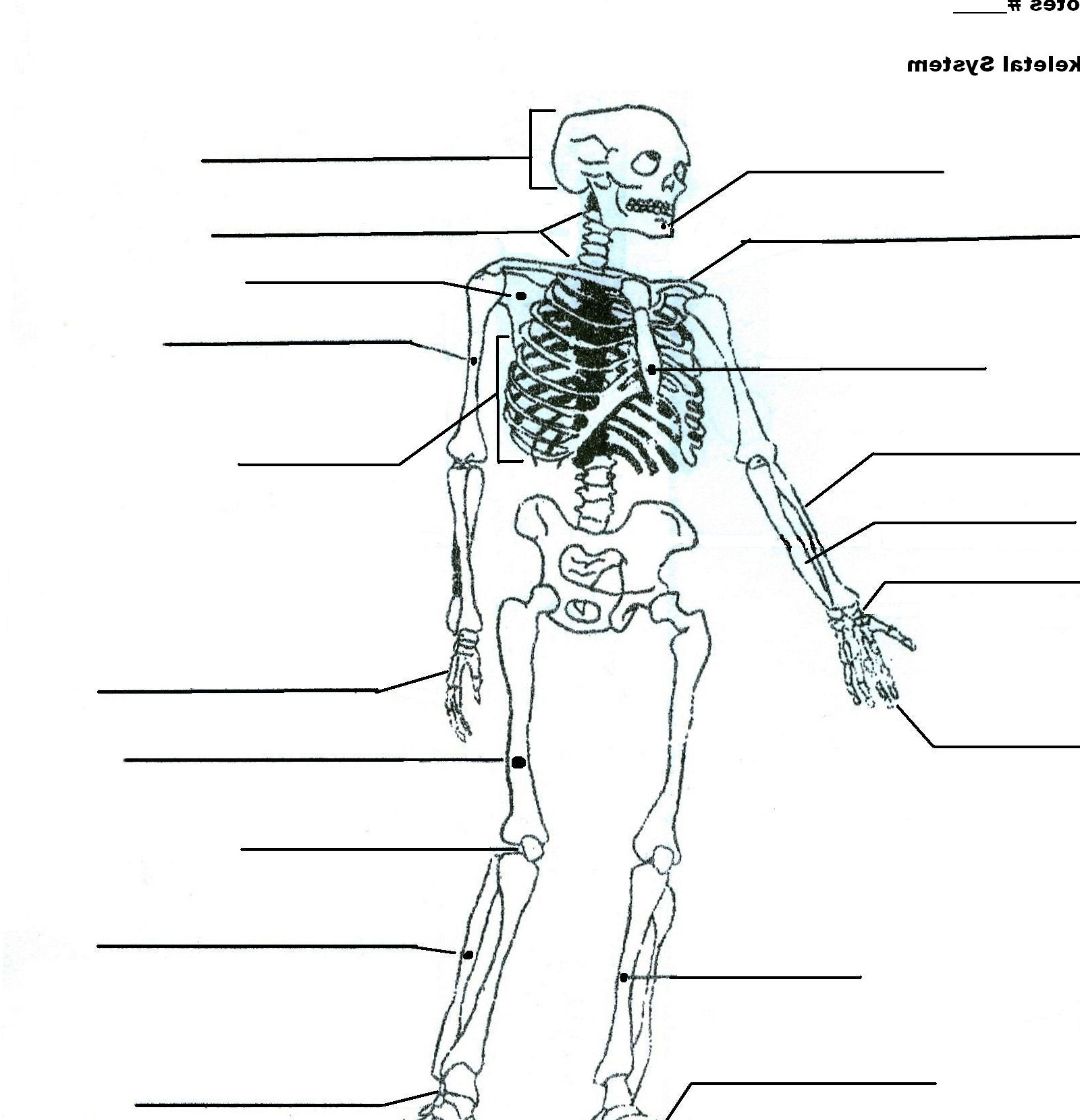 Perfect Skeletal System Pictures Labeled Quality