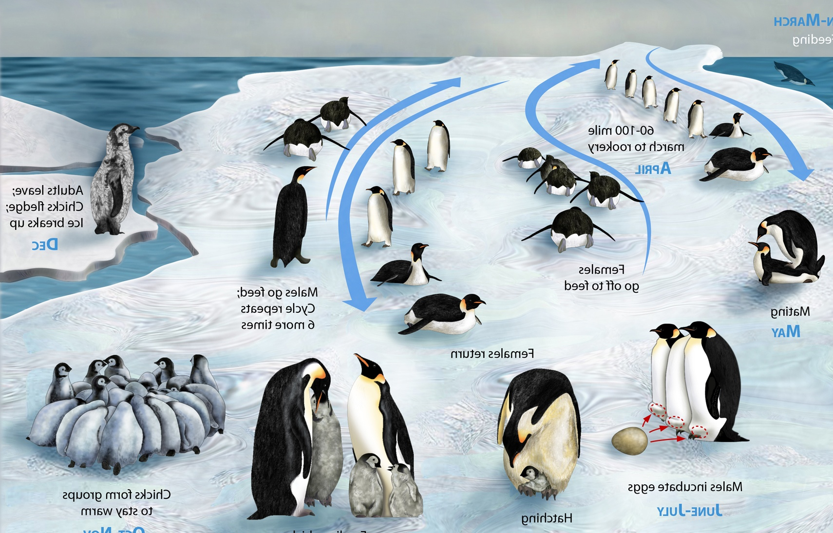 Set Of Penguin Life Cycle Pictures On Animal Picture Society