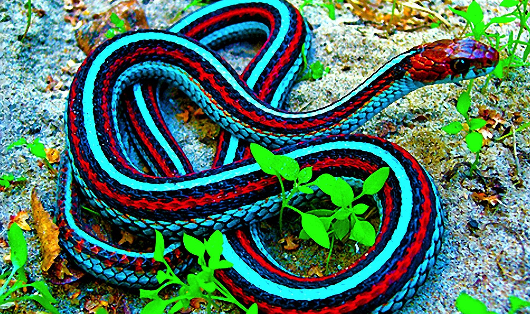 red blue snake list of red coral snake pictures quality pictures on