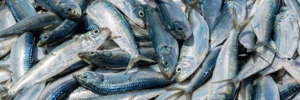 Image result for a fish that can repair its heart may hold clues for future treatments in people.