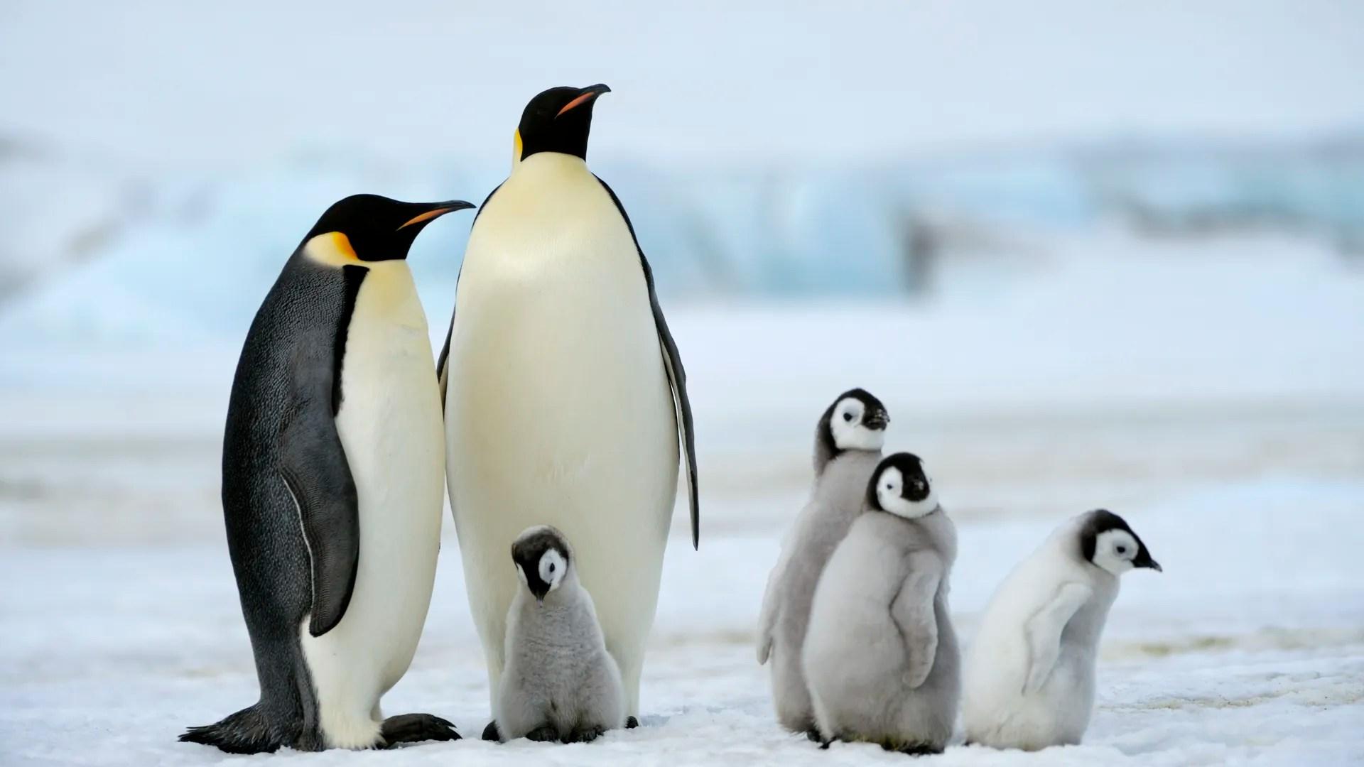 Emperor Penguin Colony Sees Catastrophic Breeding