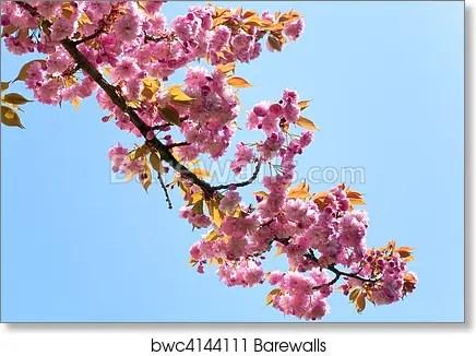 pink japanese cherry blossom art print poster