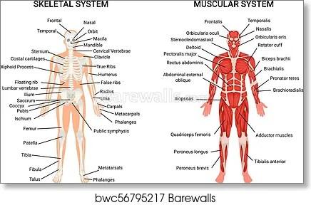 human muscular skeletal systems poster art print poster