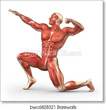 man muscular system anatomy art print poster