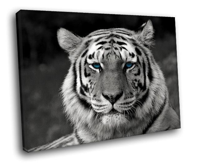 White Tiger Rare Bengal Tiger Blue Eyes 40x30 Framed