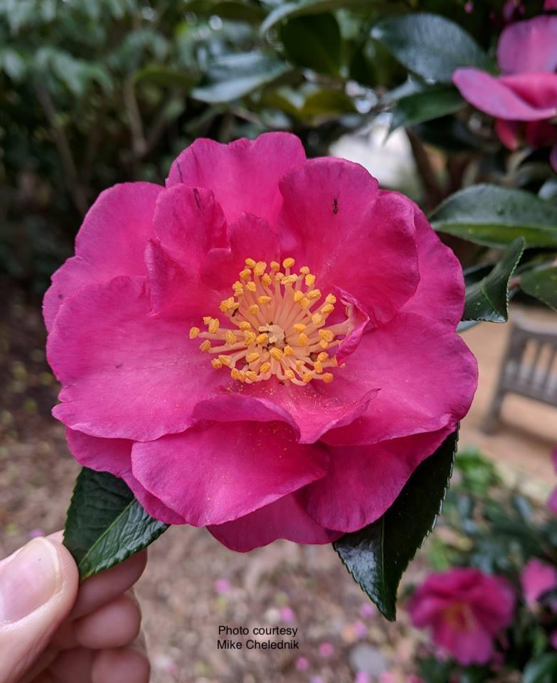 Plants Seedlings Camellia Sasanqua Yuletide Live Plant In