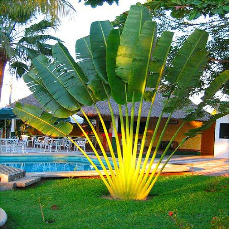 20 Seeds Perennial Plant Palm Tropical Cycas Seed Garden