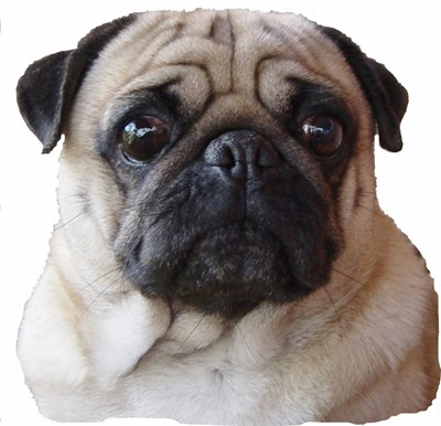 Click for More Pug Images