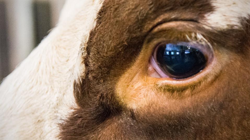 Lehmän silmä.
