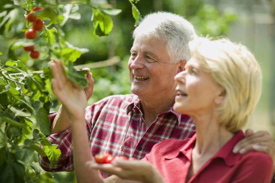 Eläkeläispariskunta poimii kirsikoita.