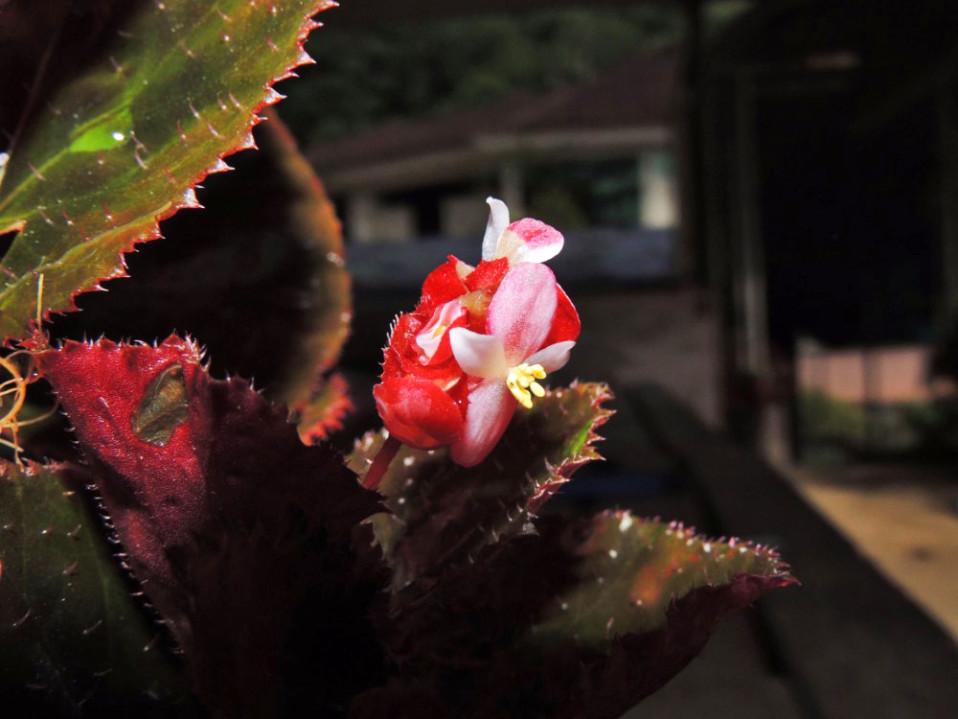 begonia rubrobracteolata