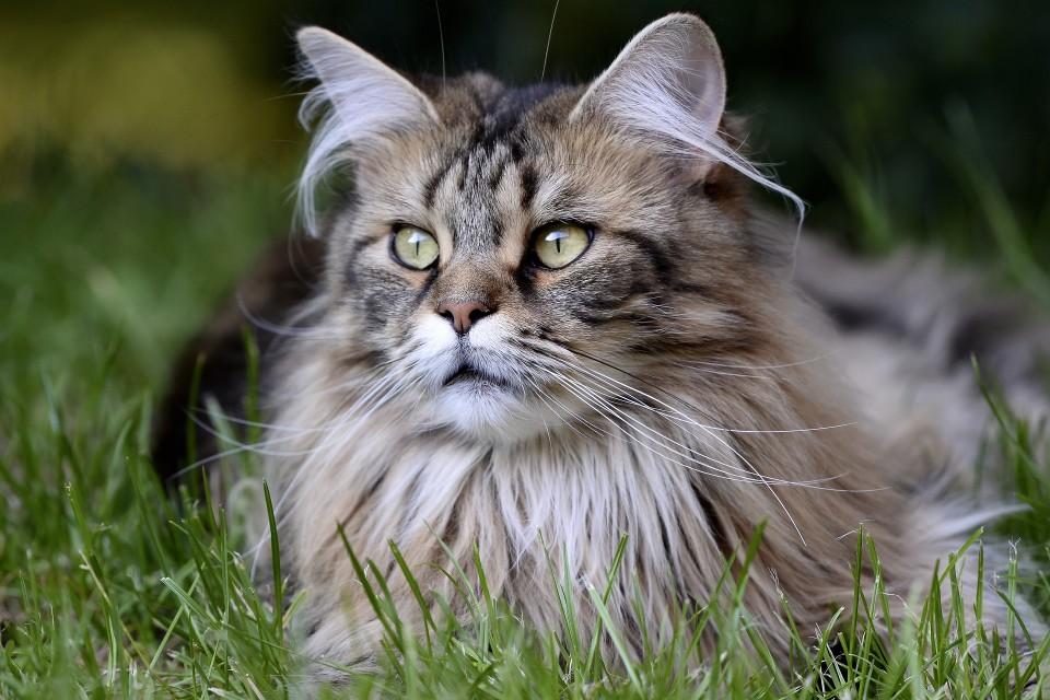 Kissa makaa nurmikolla.