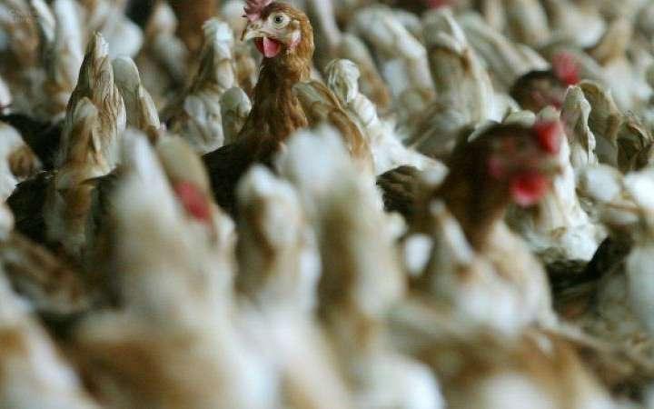 """Grippe aviaire: l'ensemble du territoire placé en risque """"élevé"""""""