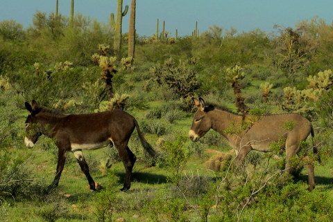 There was a herd of wild burros living near the campground and I both saw and heard them often.