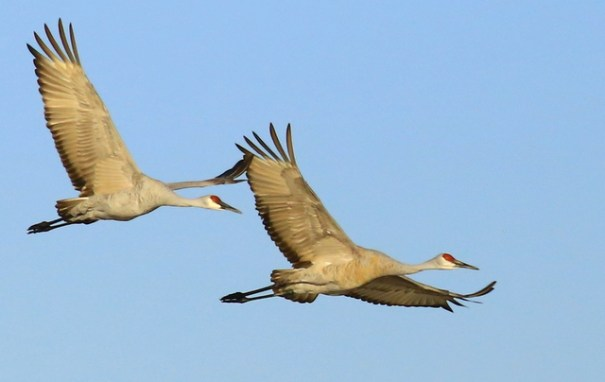 Cranes are very gregarious birds and mate for life. When they have young, the male and female share equally in taking care of the young.