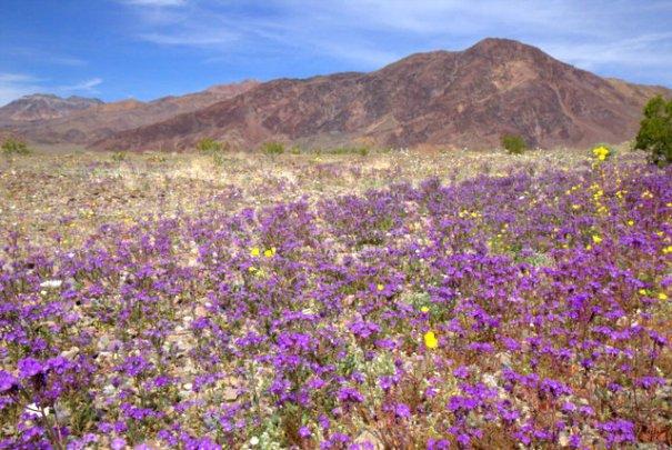 DV-purple-field