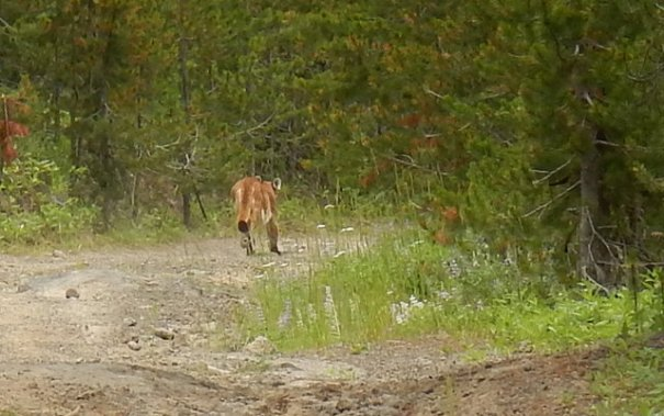 This is the second picture I got, he's just walking away with no hurry at all.  He had no fear of me whatsoever, he just decided I wasn't worth the trouble to kill and eat. This happened at noon when Mountain Lions are usually bedded down, I think he was searching for Cody and stumbled on me.