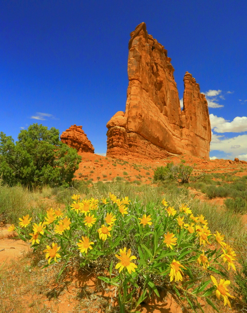 Wildflowers in bloom in Arches.