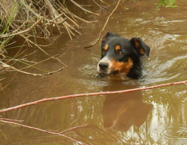 Unlike Homer who would only wade and hated swimming, Cody loves to swim.