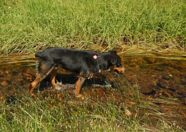 Like Homer, Cody makes a beeline for every body of water.