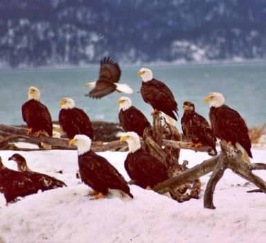 Eagle-Flock-Fly