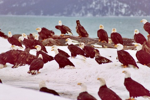 I count 26 Eagles in this picture, and probably more. There were literally hundreds of them the 2 hours I was there.