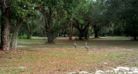 Sandhill cranes at one of the campgrounds.