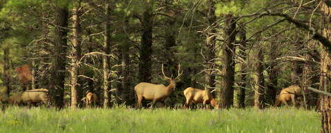Northern Arizona has a huge number of Elk and deer. This hers of elk hung around this camp a lot last year--we saw them nearly every week.