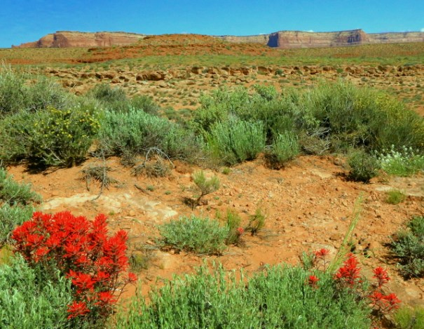 About a 1/2 mile from the Park is where I saw these Paintbrush in bloom.