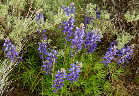The wet spring meant it was a good year for wildflowers like Lupine.