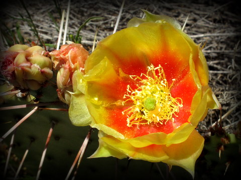 this is a Beaver-tail cactus of some kind. I have never seen a cactus bloom this color before.