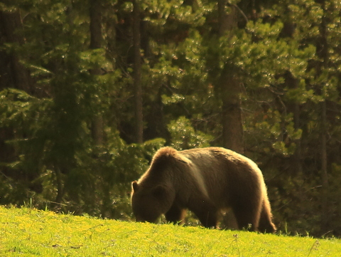 tetons-bear-close