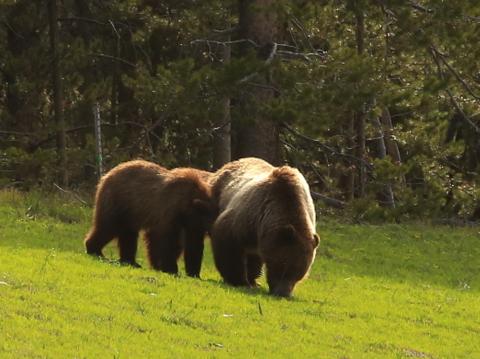 Bear cub doing what cubs do.