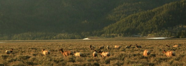 In the week I was in the Tetons I literally saw hundreds of elk. They're everywhere!