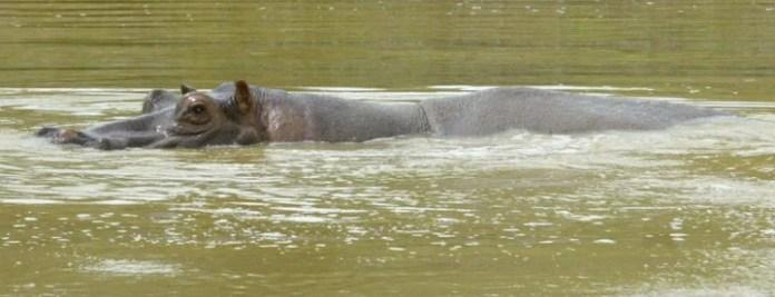 Un hipopótamo en una de las 12 lagunas de la hacienda Nápoles./ AFP