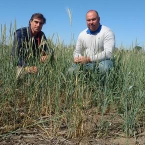 Nueve meses sin herbicidas: cómo el centeno ayuda a controlar las malezas