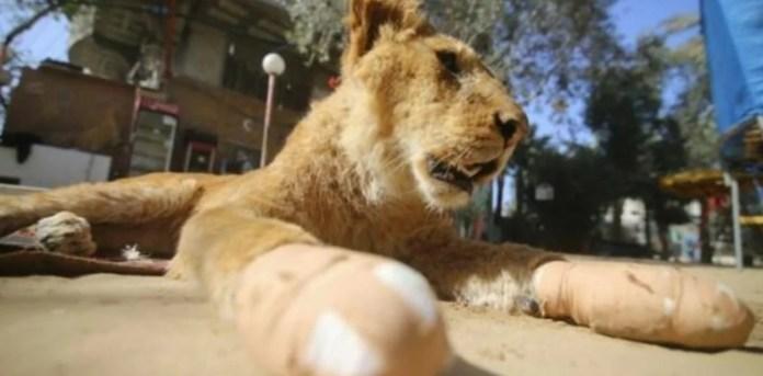 Resultado de imagen para Le amputaron las garras a una leona
