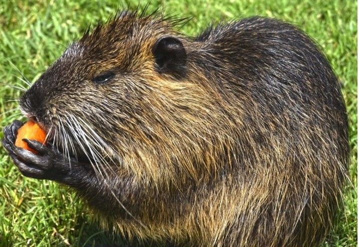 The nutria is one of the mammals that are usually found in the Costanera Sur Ecological Reserve, among other parts of the City.