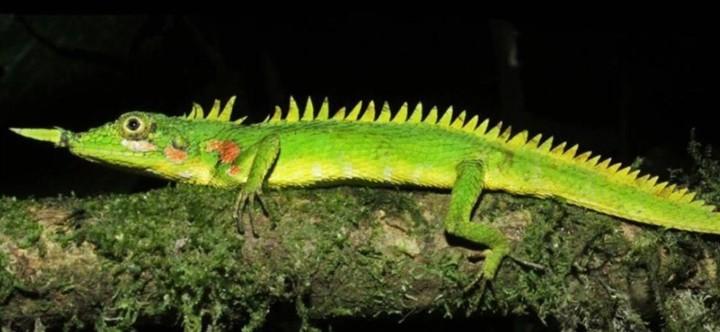 El lagarto de Modigliani era azul claro, mientras que el nuevo era verde. Los científicos ofrecieron dos posibles explicaciones a esto: el estado de preservación de la antigua muestra y la capacidad del animal de variar colores.